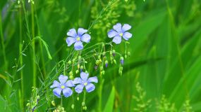 Wild flowers, flax royalty free stock images