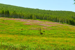 The wild flowers and forest on the steppe Stock Images