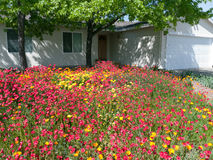 Wild flowers in the front yard. Wild flowers are more environment friendly than grass Stock Image