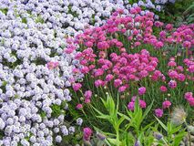 Wild flowers garden natural plants thrift. Photo of a wild kent garden growing alyssums and sea thrift pink flowers may 2018 Stock Image