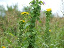 Wild Flowers Go Wild and Wilder. Here, a wild sunflower plant is now a host to the morning glory vine that has used the stems as something to wrap around as it royalty free stock photo