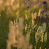 Wild flowers and grass Royalty Free Stock Photos