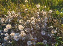Wild flowers and grass in the rays Royalty Free Stock Images