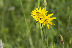 Wild flowers on a green meadow during summer Royalty Free Stock Images