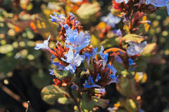 Wild flowers, a group of little faded blue color flower Stock Photo