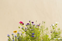 Wild flowers. Grow in front of a stucco wall Royalty Free Stock Photography