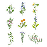 Wild Flowers Hand Drawn Collection Of Detailed Illustrations. Herbs And Plants Realistic Artistic Drawings  On White Background Royalty Free Stock Photo