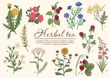 Wild flowers. Herbal tea. Vector illustration. Wild flowers and berries. Herbal tea. Medicinal plants. Vector illustration stock illustration