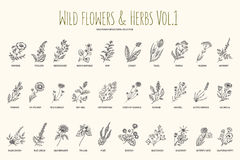Wild flowers and herbs hand drawn set. Volume 1. Botany. Vintage flowers. Vintage vector illustration. Stock Photography