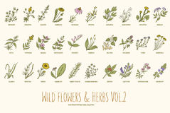 Wild flowers and herbs hand drawn set. Volume 2. Vintage vector illustration. Wild flowers and herbs hand drawn set. Volume 2. Botany. Vintage flowers. Vector Royalty Free Stock Image