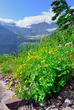 Wild flowers in High alpine landscape on the Grinnell Glacier trail in Glacier national park, montana Royalty Free Stock Image