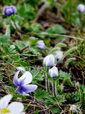Wild flowers from the Himalayas. Tiny hairy wild flowers, on the meadows of Himalayas. In Kullu Manali, Himachal Pradesh, India Stock Photo
