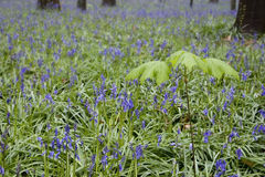 Wild flowers hyacinths in the Belgian spring woods 1 Royalty Free Stock Photography