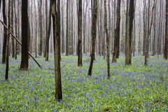 Wild flowers hyacinths in the Belgian spring woods 2 Rhythm of trunks Stock Photo