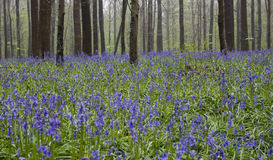 Wild flowers hyacinths in the Belgian spring woods 2 Rhythm of trunks Royalty Free Stock Photo