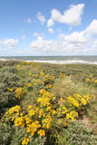 Wild Flowers In The Dutch Dunes Royalty Free Stock Photography