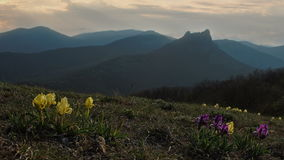 Wild flowers of Iris are swaying in the wind against the background of mountains stock footage