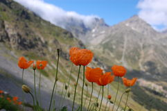 Wild Flowers in Kackar Mountains, Turkey. Wild orange flowers on Kackar mountains, Turkey stock photography