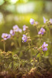 Wild flowers in kontrovy light at sunset Stock Image