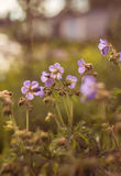 Wild flowers in kontrovy light at sunset Stock Photography