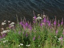 Wild flowers at the lake Stock Photography