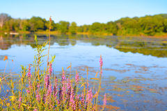 Wild flowers by the lake Royalty Free Stock Photography