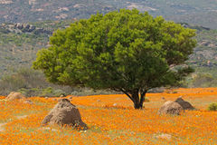 Wild flowers landscape. Landscape with colorful wild flowers and tree, Namaqua National Park, South Africa royalty free stock photo