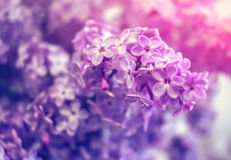 Wild flowers lilac bush in rays Royalty Free Stock Images