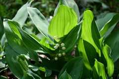 Wild flowers of lily of the Valley. In the spring forest royalty free stock photo