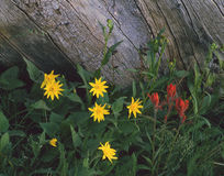 Wild Flowers and Log (H). Yellow and red wildflowers growing in a national forest in Colorado Royalty Free Stock Photography