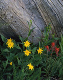 Wild Flowers and Log (V). Yellow and red wildflowers growing in a national forest in Colorado stock images