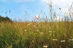 Wild Flowers in Long Grasses on Summer Day with Blue sky Royalty Free Stock Image