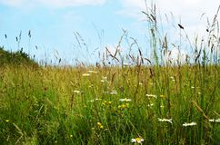 Wild Flowers Among Long Grasses in Summer Royalty Free Stock Images