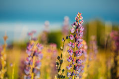 Wild Flowers Lupine In Summer Field Meadow. Close Up. Copyspace. Royalty Free Stock Photo