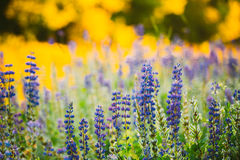 Wild Flowers Lupine In Summer Field Meadow. Close Up. Lupinus, L. Wild Flowers Lupine In Summer Field Meadow At Sunset Sunrise Sunlight. Close Up. Lupinus stock images