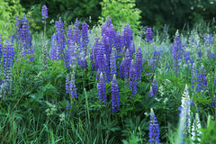 Wild flowers lupines. Royalty Free Stock Image