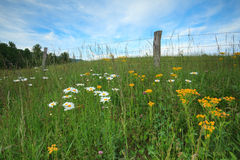 Wild flowers in the meadow Royalty Free Stock Image
