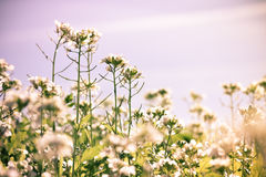 Wild flowers. Wild flowers in a meadow Royalty Free Stock Photos