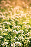 Wild flowers. Wild flowers in a meadow Royalty Free Stock Photo