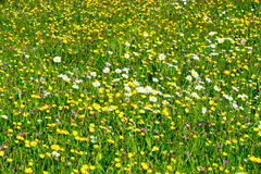 Wild flowers on a meadow Royalty Free Stock Images