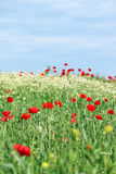 Wild flowers meadow Royalty Free Stock Photography