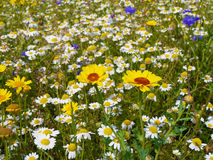 Wild flowers in meadow Royalty Free Stock Photo