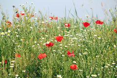 Wild flowers meadow Royalty Free Stock Images
