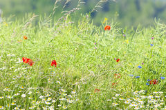 Wild Flowers on the Meadow Stock Photography