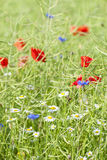 Wild Flowers on the Meadow Royalty Free Stock Image