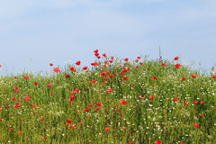 Wild flowers meadow Stock Images