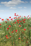 Wild flowers meadow Royalty Free Stock Photos
