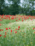 Wild flowers meadow Royalty Free Stock Image