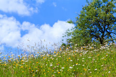 Wild flowers. Meadow, in summer day, with a beautifull blue sky and some white clouds Royalty Free Stock Images