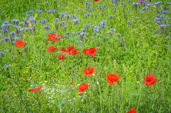 Wild flowers on a meadow Stock Photography